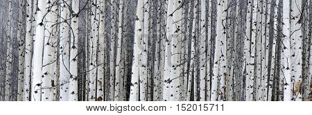 Narrow view of white tree trunks lined up on the edge of the forest