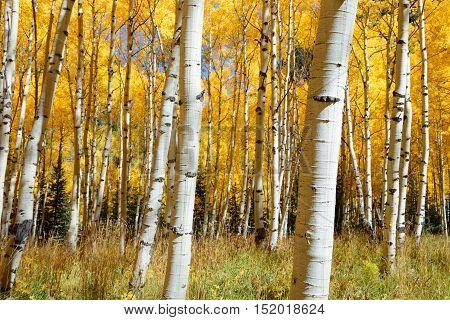 Abstract of golden aspen tree in Aspen - snowmass wilderness area Colorado
