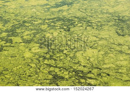 Marsh duckweed on the surface of the water of the lake