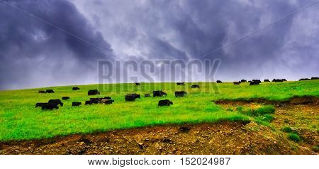 Cows grazing in fields with the foothills to the hills behind them near Buffalo, Wyoming