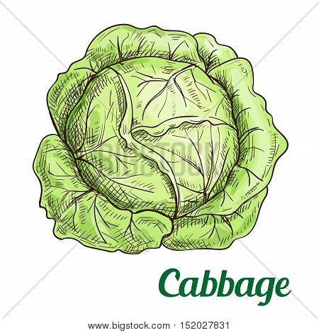 Fresh green cabbage vegetable isolated sketch. Juicy garden cabbage for farm market, food packaging, vegetarian salad recipe design