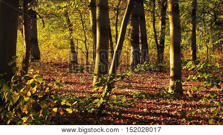 Sunrise in a green beech forest seasonal autumn background