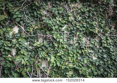 Background of Coatbuttons or Mexican daisy on the wall. Abstract nature background with Plant wall. Green leaf wall nature background. Creeper plant texture background.