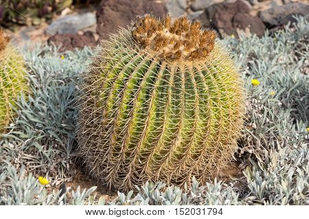 Echinocactus grusonii popularly known as the golden barrel cactus golden ball or amusingly mother-in-law's cushion