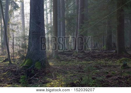 Coniferous stand in morning with pine and spruce. some lying broken, Bialowieza Forest, Poland, Europe