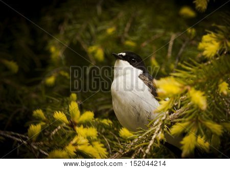a blac and white flycatcher sitting in a spruce