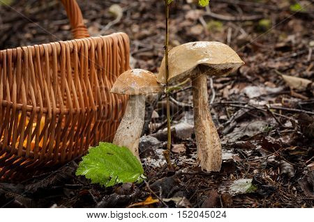 Two Edible Mushrooms Brown Cap Boletus (Leccinum Scabrum) Growing In Autumn Forest With Wicker Basket. Wet Hats Mushroom. Wild Mushroom In Forest.
