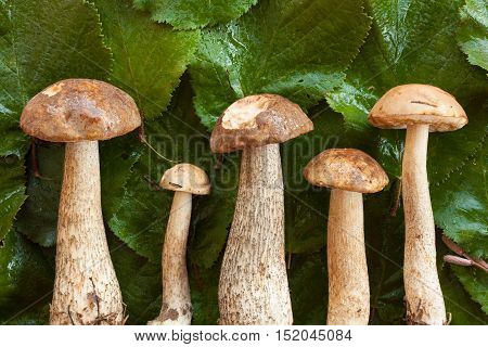 Forest And Wild Mushroom. Fresh Edible Wet Mushrooms Brown Cap Boletus (Leccinum Scabrum) On Green Wet Hazelnut Leaves,  Top View. Mushroom Brown Cap Boletus.