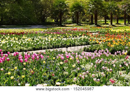 Tulips growing in a garden on a background of trees.