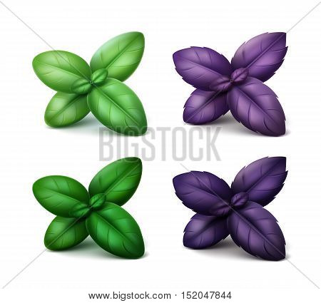Vector Set of Fresh Green Red Purple Basil Leaves Close up Isolated on White Background