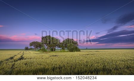 Group of trees in a wheat field through which see traces of agricultural vehicles at beautiful purple sunset before harvest.