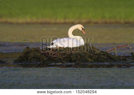 White Mute swan Cygnus olor is breeding in the pond
