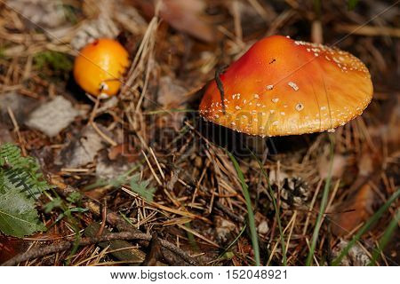 Red and yellow amanitas growing in a pine forest.