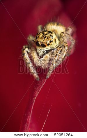 Jumping spider Carrhotus xanthogramma on the red background