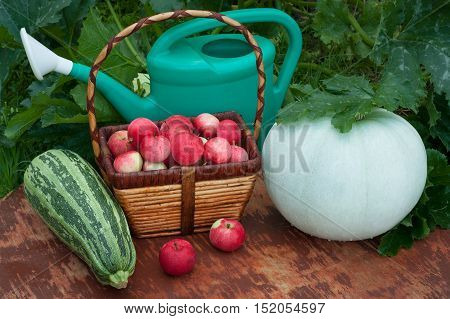 Fresh Organic Vegetables (Vegetable Marrow And Pumpkin) Wicker Basket With Red Apples And Green Watering Can In Summer Vegetable Garden. Top View.