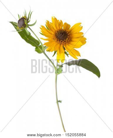 Yellow flower  isolated on white background.