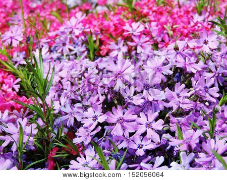 Purple and pink flowers in a flower bed.