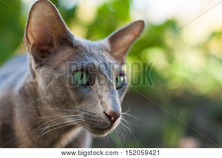 Oriental Shorthair Gray Cat Outdoors Summer Close Up. Oriental Breed. Cat On Walk In Park.