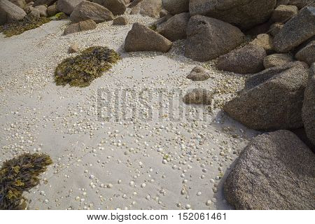 Limpets on beach, Isles of Scilly, Cornwall, England