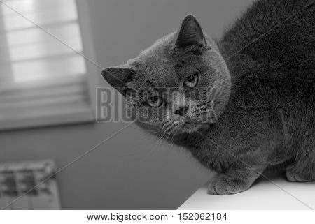 Black and white photo cat. Breed cat - British Shorthair. Sleek muzzle.