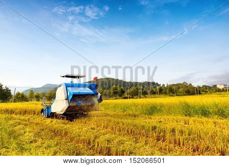 Blue sky and white clouds tracts of mature rice harvester working in blue.
