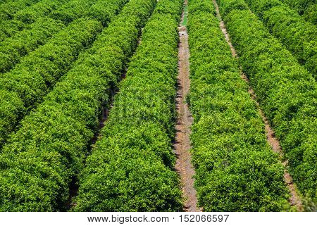 close up on orange groves in spain
