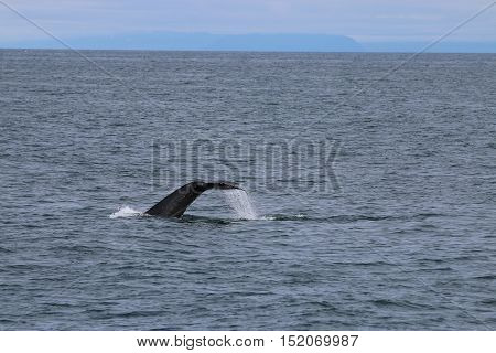 A Humpback Whale tail in the Bay of Reykjavik. Iceland