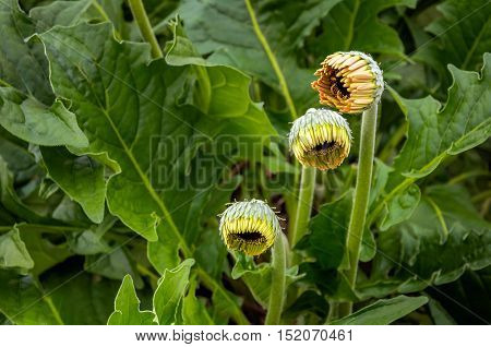 Closeup of three yellow and orange buds of Gerbera plants in a specialized Dutch flower nursery with a heated glasshouse.