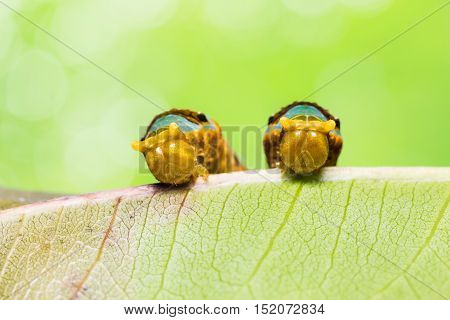 Banded Swallowtail Caterpillars