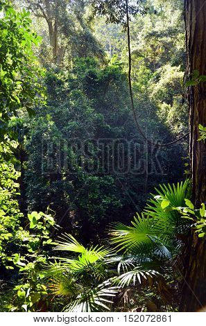 Light filtering through into the rainforest understory of ferns, palms and vines, Royal National Park, Sydney
