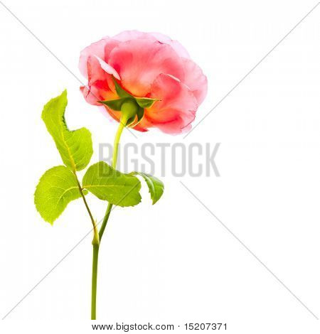 a beautiful rose isolated on a white background