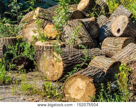 Fallen and sawn tree. Pile of the sawn firewood