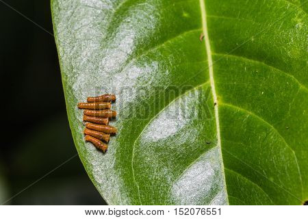 Young Banded Swallowtail Caterpillars