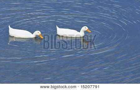 An image of a white duck couple