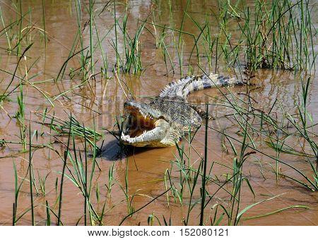The yawning Nile crocodile in Chamo lake Nechisar national park Ethiopia