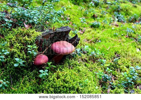 Non-edible purple mushrooms in a forest on a stump