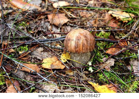 Boletus mushroom in an autumn forest among leaves and twigs