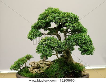 Miniature bonsai tree on display with a white background