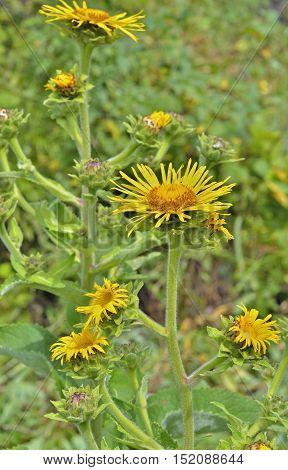 A close up of the blooming medicinal herb elecampane (Inula japonica).