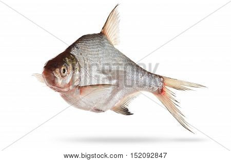 bream isolated on white background closeup with shadow