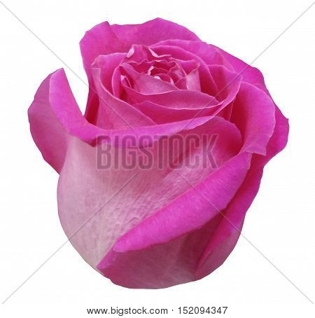 Flower rose pink rose white isolated background with clipping path. Closeup. pink rose side view.