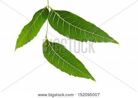 Margosa, Nim Or Neem Tree, Genus Melia Leaf Isolated On White Background