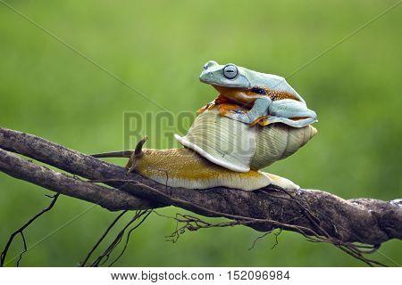 Tree frog, Java tree frog riding snail