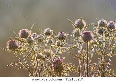 purple flowers of burdock plants with large thorns at sunset