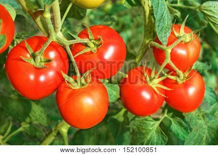 Big Ripe Red Tomato Fruits Close-up