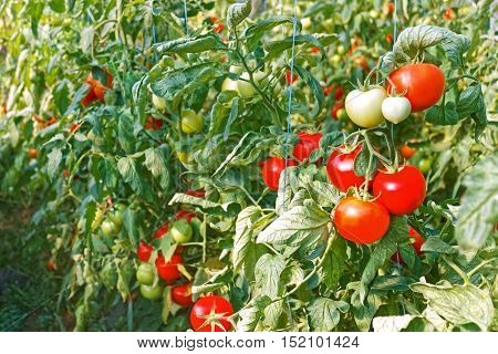 Ripe Red Tomato Fruits In Greenhouse