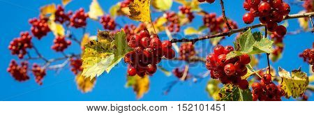 Bright ripe hawthorn berries with leaves on a blue sky background.