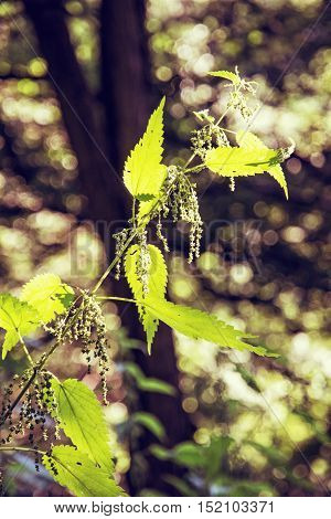 Urtica dioica often called common nettle or stinging nettle is in backlight. Natural scene. Beauty in nature. Retro photo filter. Herbalism theme.