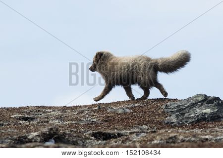 Commanders blue arctic fox running on the tundra spring sunny day