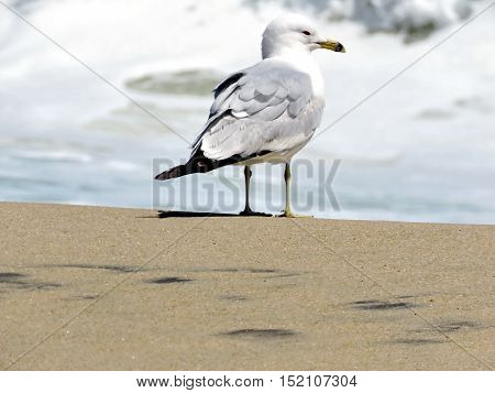 Gull on the beach in South Bethany Usa April 24 2016